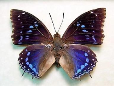 CHARAXES ETESIPE ETESIPE unmounted butterfly